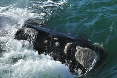 HEAD   AWASH. A southern right whale head taken at Hawston beach,Hermanus,South Africa Stock Image