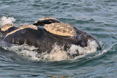 HEAD   AWASH 2. A Southern right whale head showing it's calositie patern Stock Image