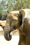 The head of a baby elephant. Portrait of a baby elephant in profile. royalty free stock photos