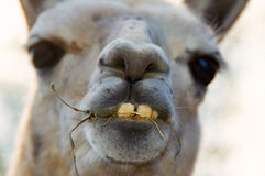 The Head of a Bactrian Camel. The big Head of a Bactrian Camel royalty free stock photography
