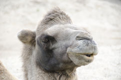 Head of a Bactrian Camel Royalty Free Stock Image