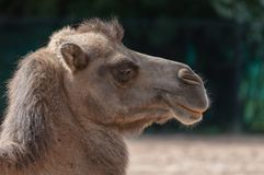 The head of a Bactrian camel in profile. stock photo