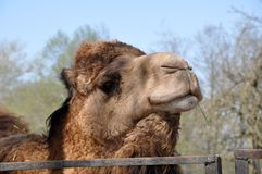 Head of the Bactrian camel with straw stock photography