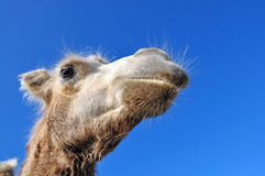 Head Bactrian camel Stock Image