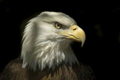 Head of Bald Eagle. Head of a Bald Eagle with dark Background Royalty Free Stock Image