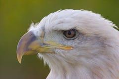 Head of Bald Eagle. The head of an American Bald Eagle stock photography