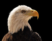 Head of Bald Eagle. Isolated over a black background Royalty Free Stock Photos