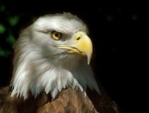 Head of Bald Eagle. On dark background royalty free stock photo