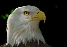 Head of Bald Eagle. On dark background royalty free stock photography