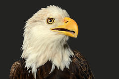 Head of Bald Eagle Royalty Free Stock Images