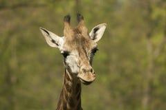 head barn för giraff Arkivbild