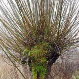 The head of a basket willow, Salix viminalis in winter Royalty Free Stock Photography