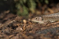 Head Basking Sand Lizard (Lacerta agilis) in the Bark Mulch Stock Photos
