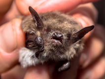 Head of bat (Myotis Dasycneme) caught for research. Head of pond bat (Myotis Dasycneme) caught for research Stock Photo