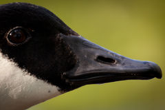 Head and beak of a Canada Goose Stock Image