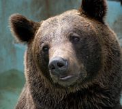 Head of a bear Royalty Free Stock Images
