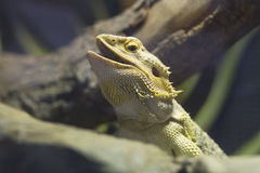 Head of bearded dragon Stock Image