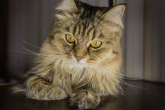 Cat's head close-up. Head of beautiful adult cat close-up stock photos