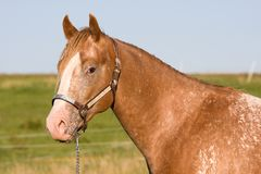 Head of beautiful Appaloosa horse Royalty Free Stock Images