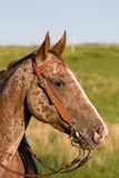 Head of beautiful Appaloosa horse Stock Image