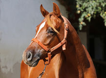 Head of a beautiful arabian horse against white wall Royalty Free Stock Photography