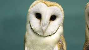 Head of beautiful barn owl. Close up stock video footage