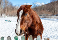 Head of a beautiful brown horse at the farm Royalty Free Stock Images