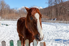 Head of a beautiful brown horse at the farm Royalty Free Stock Photo