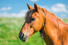 Head of a beautiful brown horse in a field Royalty Free Stock Photos