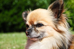 Head Beautiful chihuahua. Close view of a Beautiful purebred chihuahua head with long brown hair stock images