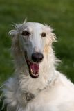 Head of beautiful dog - Borzoi Royalty Free Stock Photography
