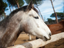 Head of a beautiful horse Royalty Free Stock Photo