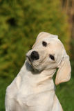 Head of beautiful labrador Stock Images