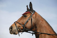Head of a beautiful show jumper horse. Side view portrait closeup of a beautiful show jumper horse`s head Royalty Free Stock Photography