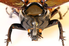 Head of beetle Chalcasoma atlas stock images