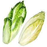 Head of belgian endive chicory  Stock Image