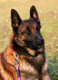 Head of Belgian shepherd. Portrait of purebred belgian shepherd malinois: attentive police dog Stock Image