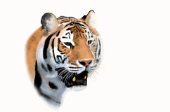 Head of bengal tiger. Bengal tiger face on white background Royalty Free Stock Photography