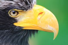 Head of big black eagle Royalty Free Stock Photography