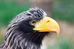 Head of big black eagle Royalty Free Stock Images