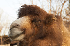 Head of big camel Royalty Free Stock Photo