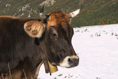 Head of big cow with bell Royalty Free Stock Photography