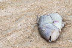 Head big fish bitten by a wild animal on the shore of the ocean dorado with sharp teeth frightening find on the beach royalty free stock image