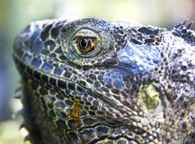 Head of big iguana royalty free stock images