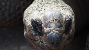 Head of a big tortoise royalty free stock photography