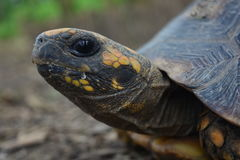 Head of a big turtle in the Amazon jungle, Peru. The face of a big amazon turtle, near to the city of Iquitos, in Peru stock photos