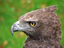 Head of Bird of Prey. Close up of head of bird of prey stock photo