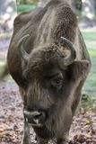 Head of bison Stock Image
