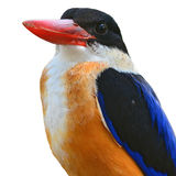 Head of Black-capped Kingfisher Royalty Free Stock Images