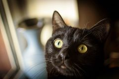 Head of Black cat on background of a blue vase. On the window Stock Photography